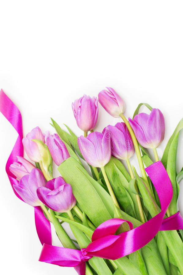 与桃红色丝带的桃红色郁金香在白色 免版税图库摄影