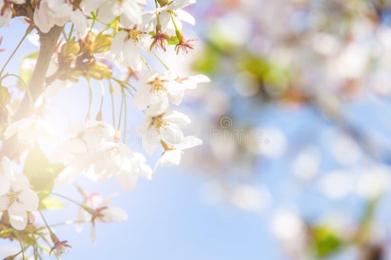 与桃红色佐仓或樱花的春天边界摘要blured背景艺术 免版税库存图片