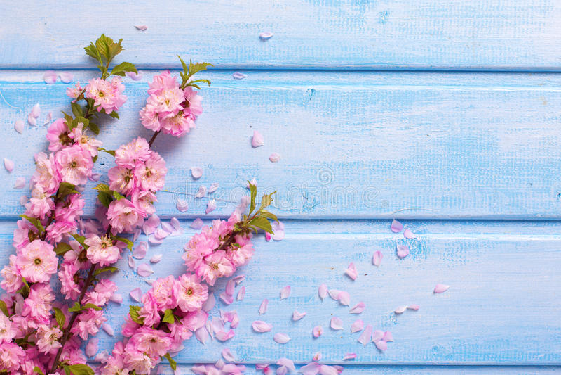 与桃红色佐仓的背景在蓝色木板条开花 免版税库存图片