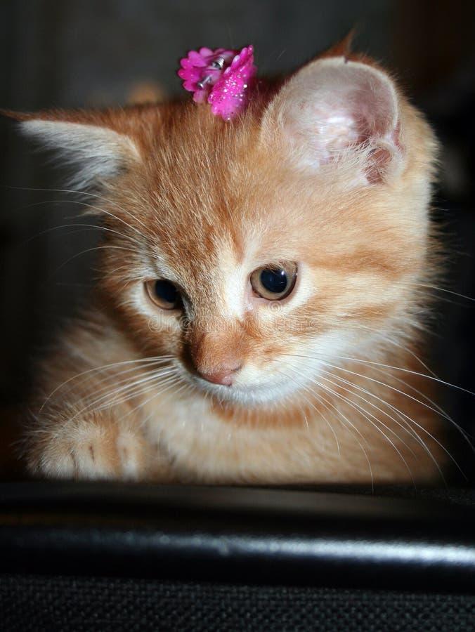 与桃红色发夹的姜小猫在她的头看得下来 库存图片