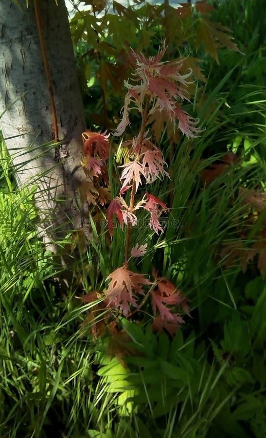 与桃红色叶子的年轻射击在一棵树的树荫下,反对绿草背景  免版税库存图片