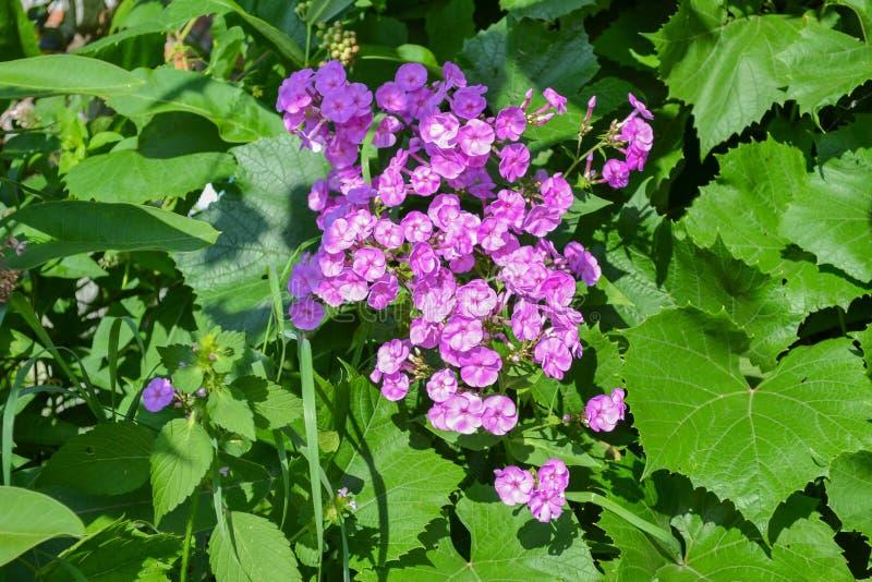 与桃红色小的花的庭院灌木 库存照片