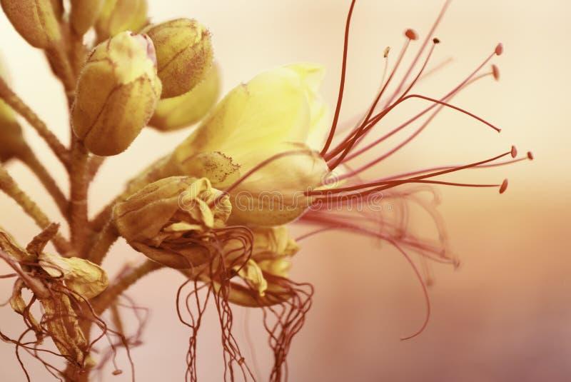 与桃红色开花的黄色花在自然植物群的淡色软的嫩颜色,概念的一张被弄脏的bokeh背景明信片 库存照片