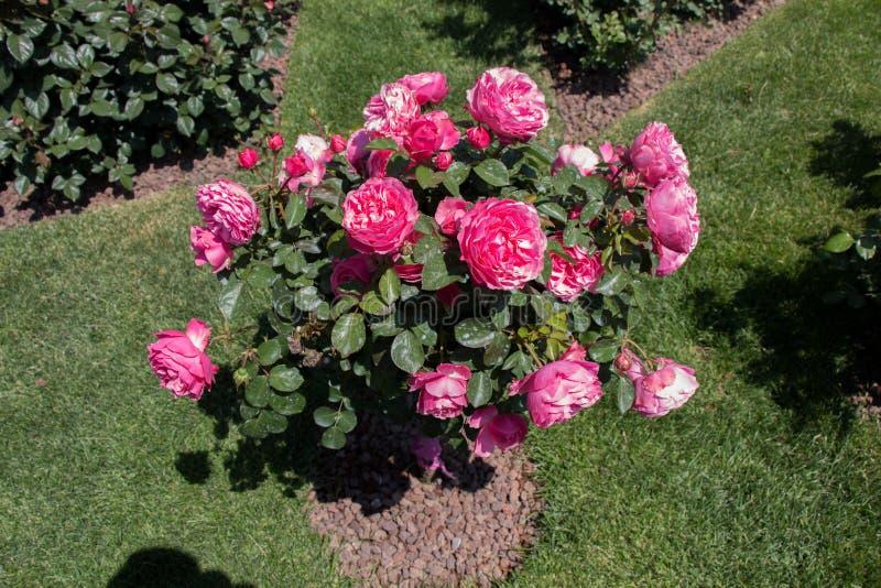 与桃红色玫瑰的罗斯树在庭院里 免版税图库摄影