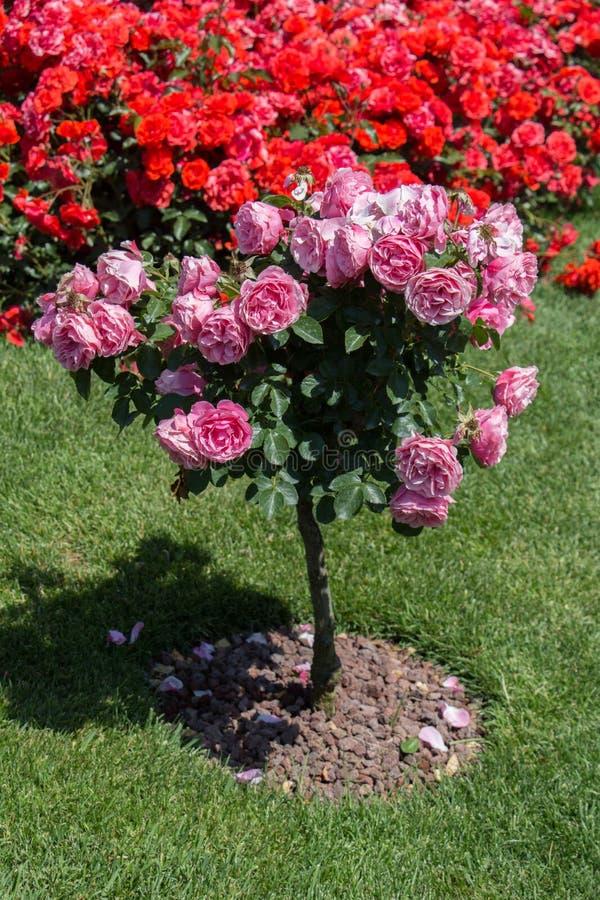 与桃红色玫瑰的罗斯树在庭院里 库存图片