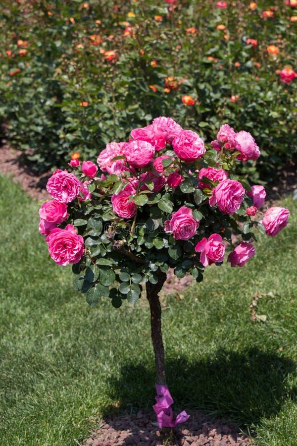 与桃红色玫瑰的罗斯树在庭院里 库存照片