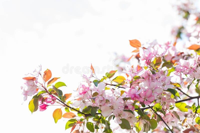 与桃红色瓣的开花的苹果树反对白色背景 免版税库存照片