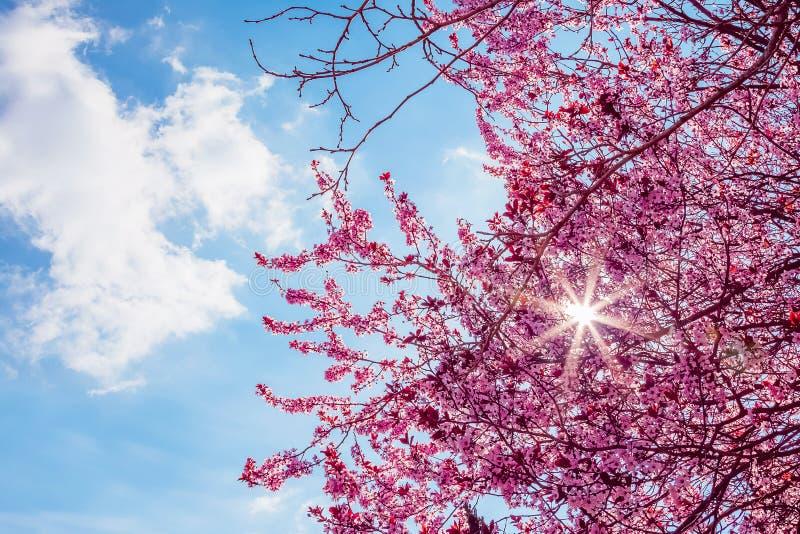 与桃红色的春天树开花在一个分支的杏仁开花在绿色背景,在与每日光的蓝天 免版税库存图片