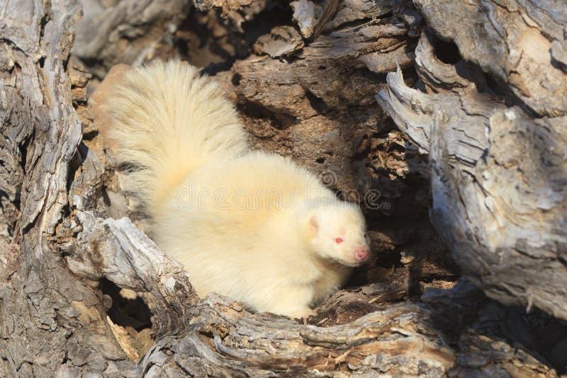 与桃红色眼睛的白变种臭鼬 图库摄影