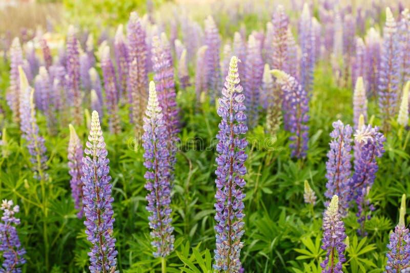 与桃红色紫色和蓝色花的凶猛领域 束羽扇豆夏天花背景 羽扇豆属 图库摄影