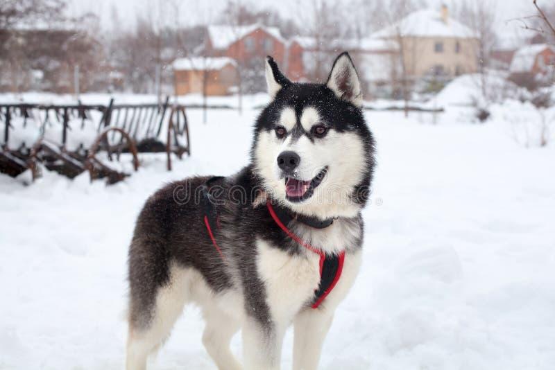 与桃红色舌头的一名美丽的西伯利亚爱斯基摩人在白雪背景特写镜头,与红色鞔具的黑毛茸的阿拉斯加的爱斯基摩狗 库存照片