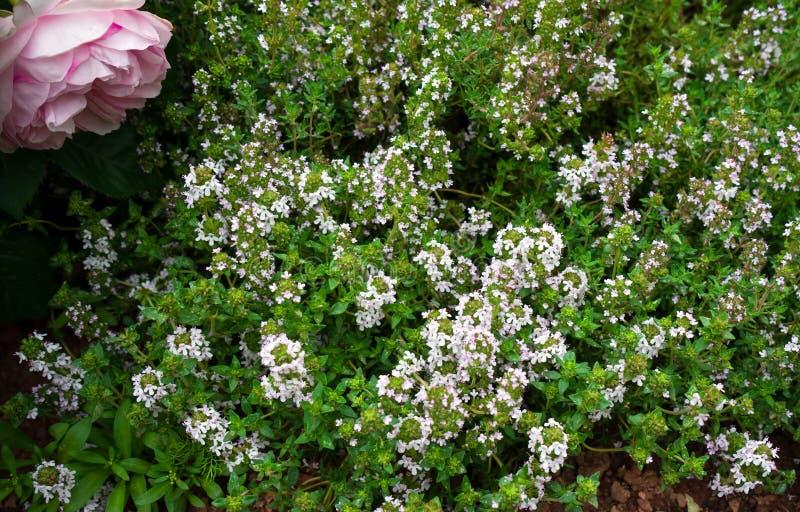 与桃红色花卉生长的新鲜的绿色麝香草草本在庭院里 图库摄影