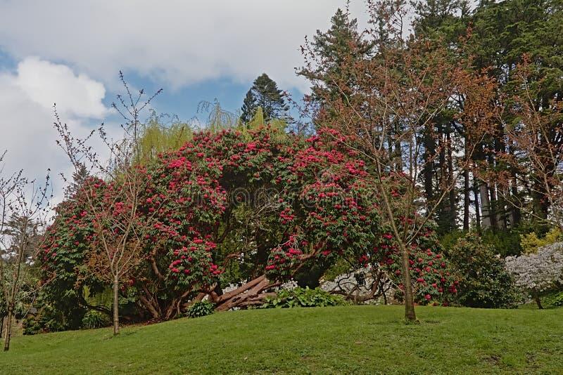 与桃红色花和其他树的大木兰灌木在庭院里 库存图片