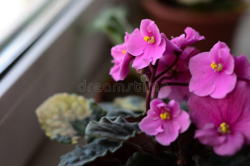 与桃红色花和斑点的紫罗兰在叶子 库存照片