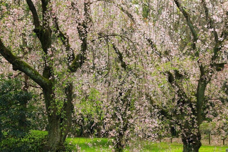 与桃红色花的啜泣的日本人佐仓樱花树我 库存照片