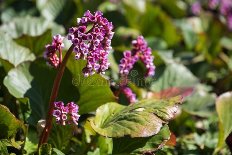 与桃红色花的岩白菜属在春天,强壮的常青多年生植物 免版税库存图片