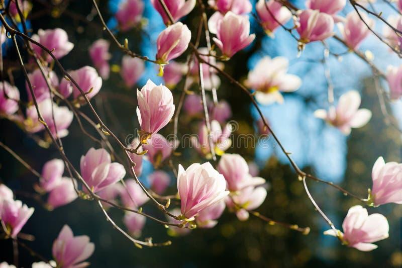 与桃红色花的开花的木兰soulangeana树 免版税库存图片