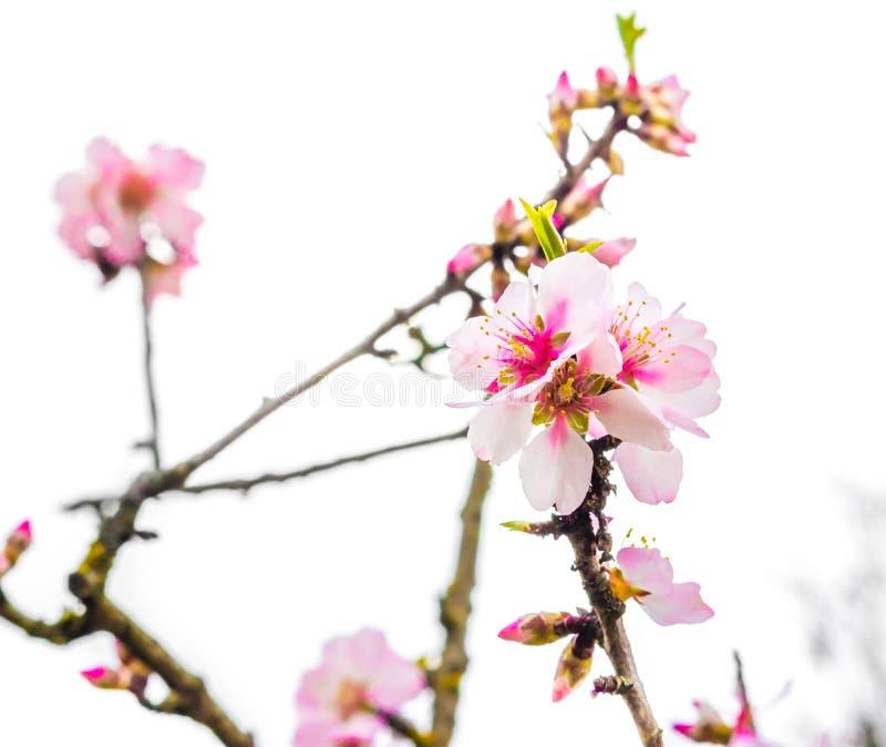 与桃红色花的春天树在每日轻的天空 库存照片