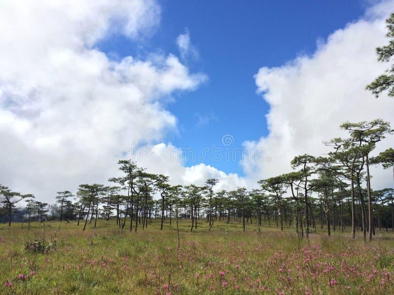 与桃红色花的杉树 免版税库存照片