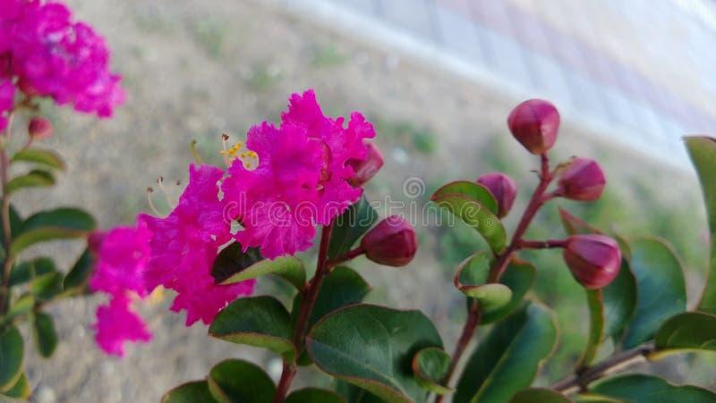 与桃红色花的灌木 库存图片