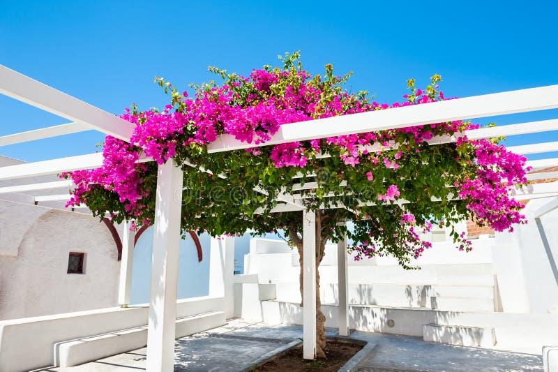 与桃红色花的美丽的树在圣托里尼海岛,希腊上 免版税图库摄影