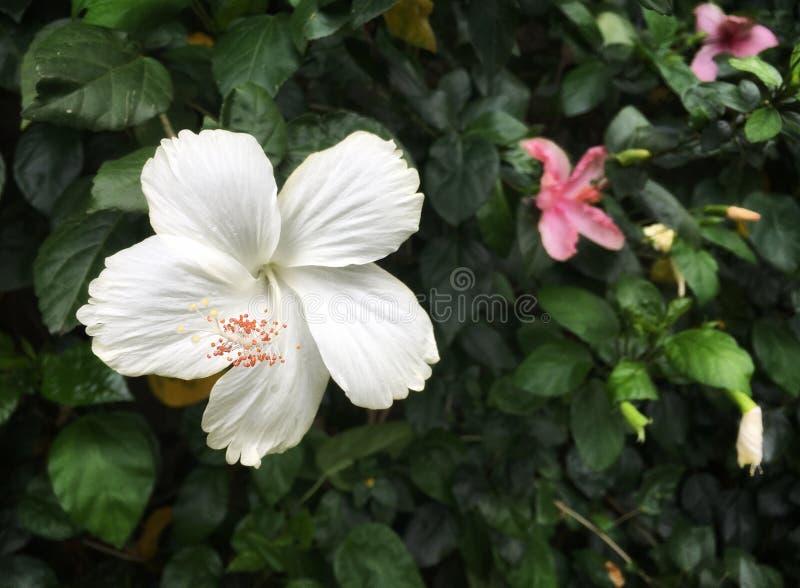 与桃红色花粉的白色木槿花 库存图片