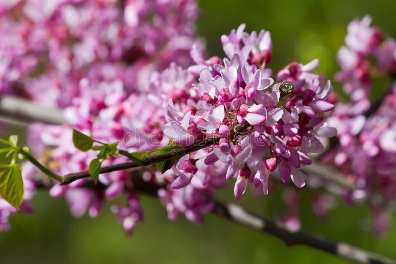 与桃红色花紫荆特写镜头的分支 库存图片
