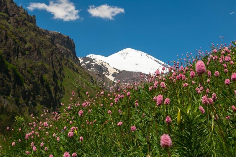 与桃红色花草甸的风景在前景和厄尔布鲁士峰的在背景中 厄尔布鲁士峰看法从南部的 免版税库存照片