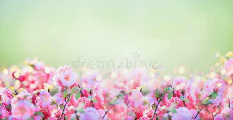 与桃红色苍白开花的花卉横幅在绿色自然背景在庭院或公园里 免版税库存照片
