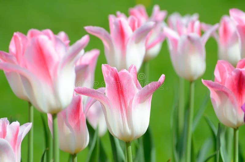 与桃红色郁金香的白色 库存图片
