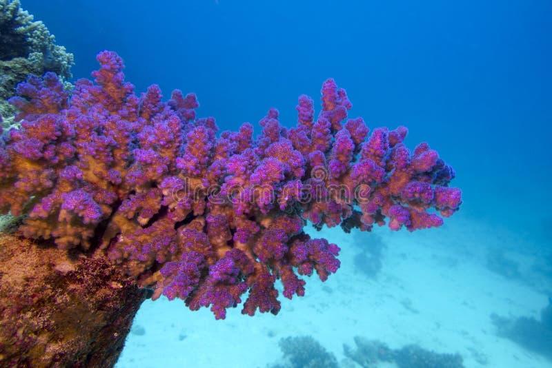 与桃红色pocillopora珊瑚的珊瑚礁在热带海底部  免版税库存图片