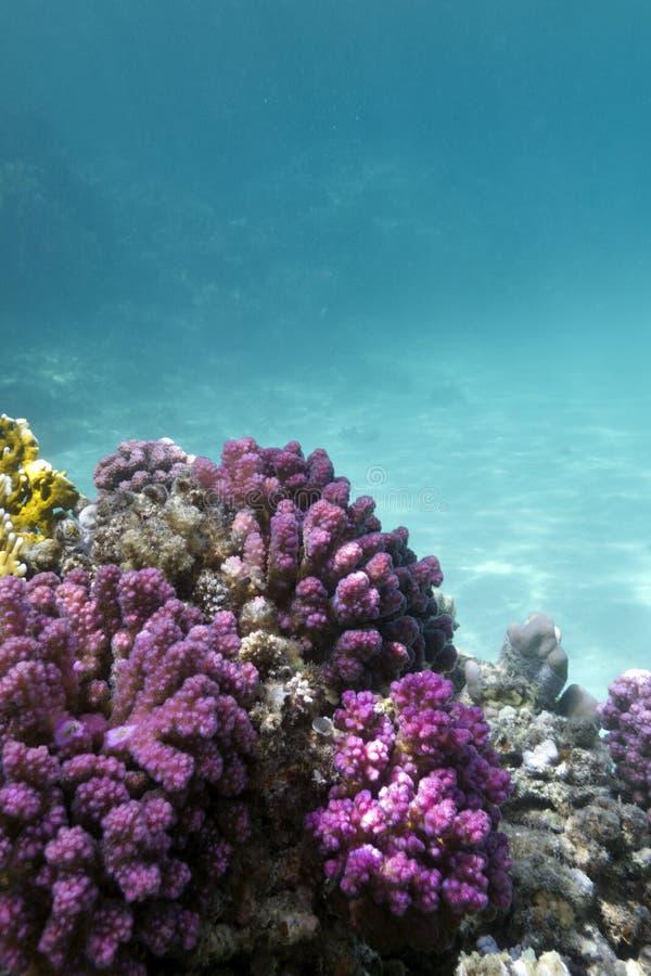 与桃红色pocillopora珊瑚的珊瑚礁在热带海底部  免版税图库摄影