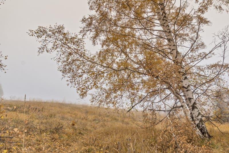 与桦树和雾, Vitosha山,保加利亚黄色叶子的惊人的风景  免版税图库摄影
