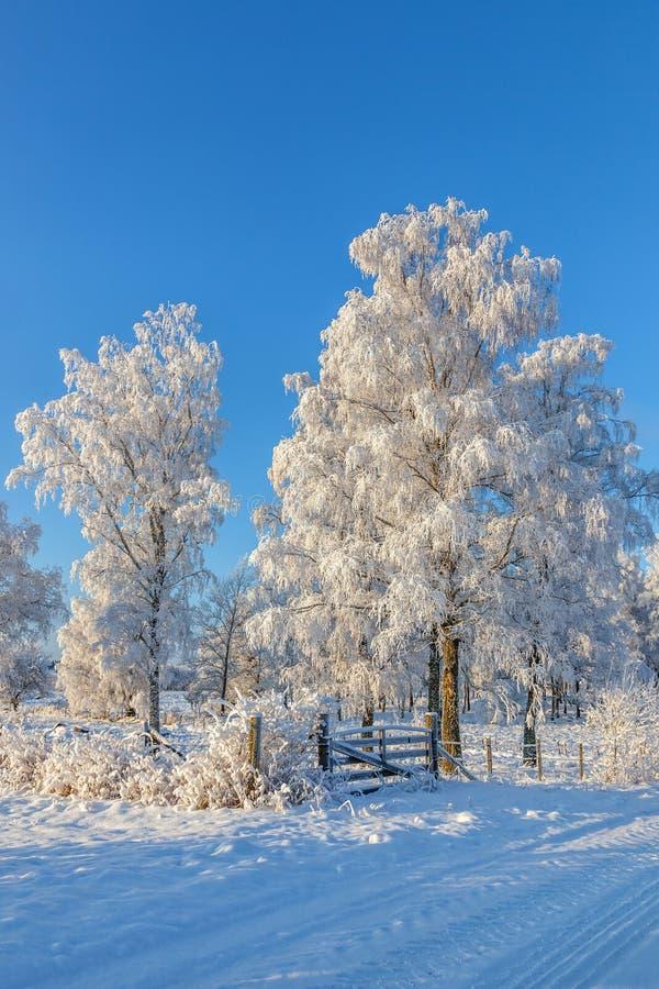 与桦树的冬天风景 免版税库存图片