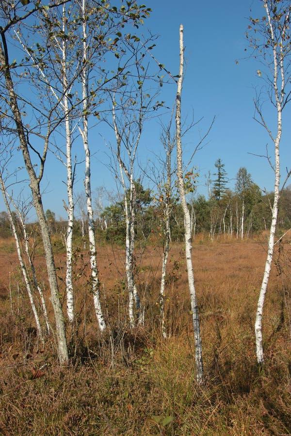 与桦树的希斯风景在Ibm荒野在上奥地利,在早期的秋天 库存照片