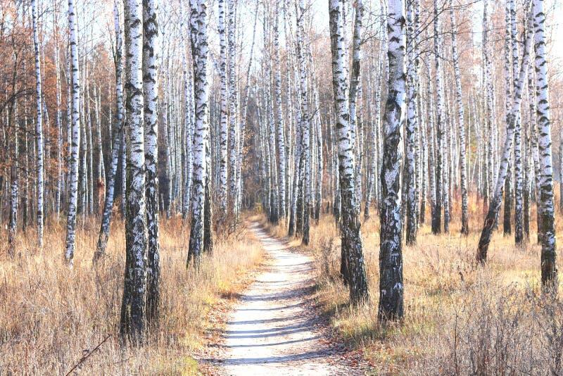 与桦树的美好的场面在黄色秋天桦树森林里 免版税库存图片