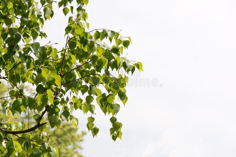 与桦树鲜绿色的叶子的春天背景  库存照片