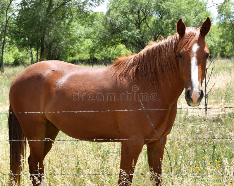 与梳子的俏丽的棕色好奇马 免版税库存照片