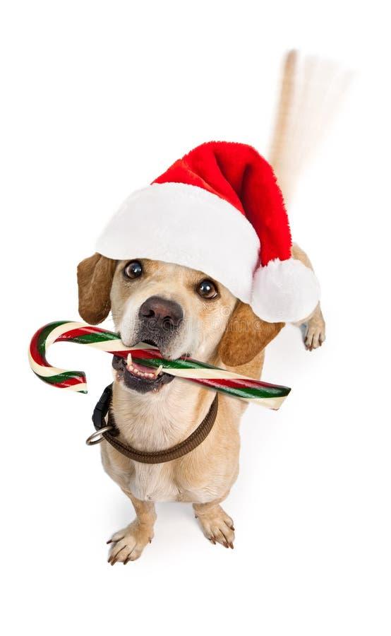 与棒棒糖摇摆的尾巴的愉快的圣诞老人狗 免版税库存图片