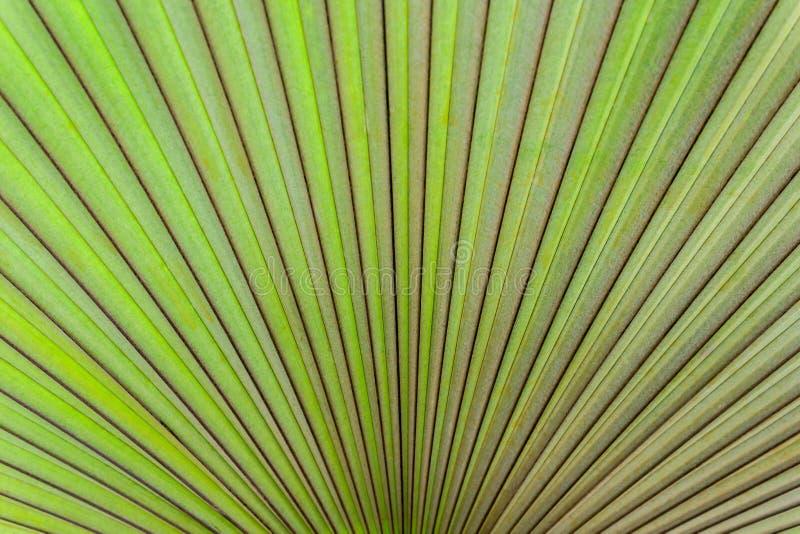 与棕榈叶纹理的特写镜头。 库存照片