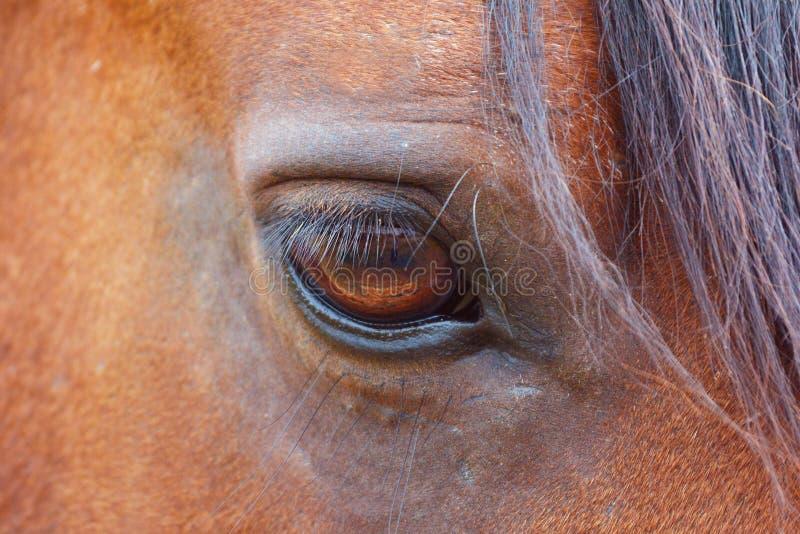 与棕色公马长的鞭子的琥珀色的色的马眼睛  免版税库存图片