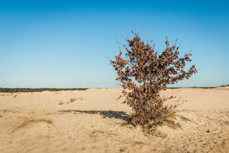 与棕色凋枯的叶子的孤零零橡木灌木在沙丘的倾斜 库存照片