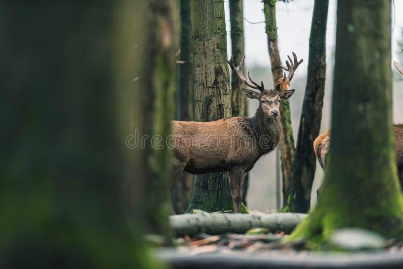 与棕色叶子的马鹿雄鹿在鹿角在冬天森林里 库存图片