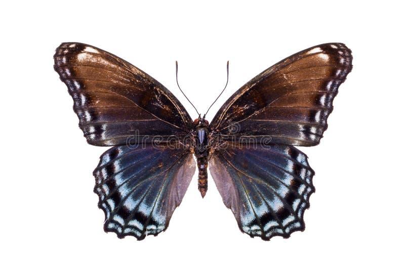与棕色和浅兰的翼的美丽的五颜六色的蝴蝶 图库摄影