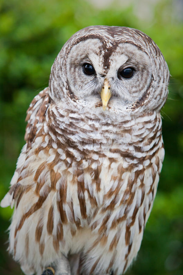 与棕色和白色条纹的呈杂色的猫头鹰 免版税库存照片