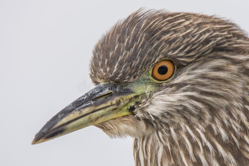 与棕色和胆怯和橙色眼睛的少年黑被加冠的夜苍鹭海洋鸟 免版税库存照片