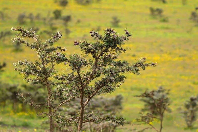 与棕色球茎生长的金合欢吹哨的刺树在恩戈罗恩戈罗火山口,阿鲁沙,坦桑尼亚,非洲 免版税库存图片