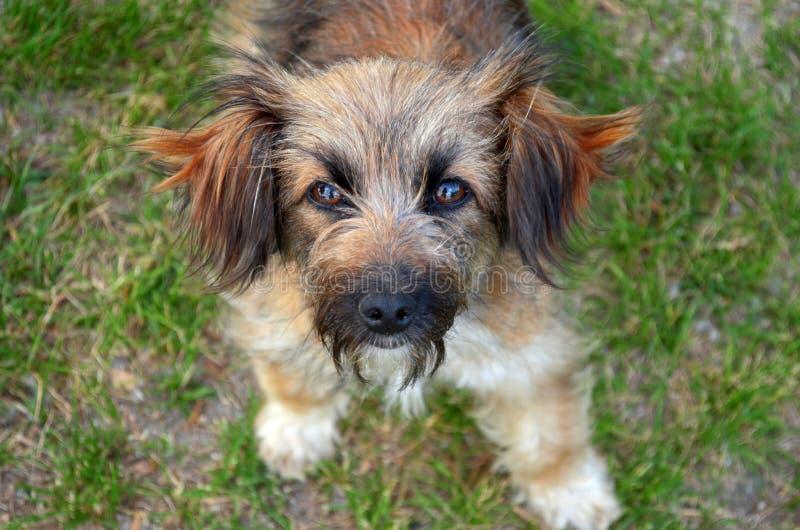与棕色眼睛的一条小粗野的红色狗在草站立并且调查框架 库存图片