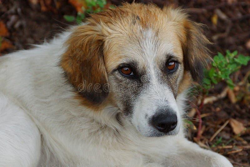与棕色眼睛的狗坐草坪在庭院里 库存照片