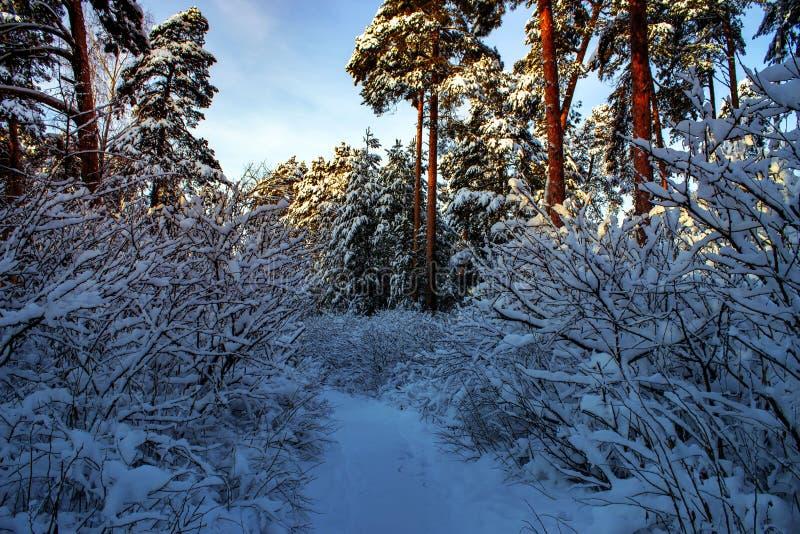 与森林、树和日出的美好的冬天风景 一新的天的winterly早晨 与雪的圣诞节风景 库存图片